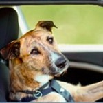 Drivingdogs: Can You Teach A Dog To Drive?