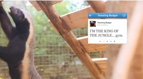 Joburg Zoo Presents The World's First Live Tweeting Badger