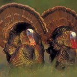 Content Marketing: Why Turkeys Can't Fly?